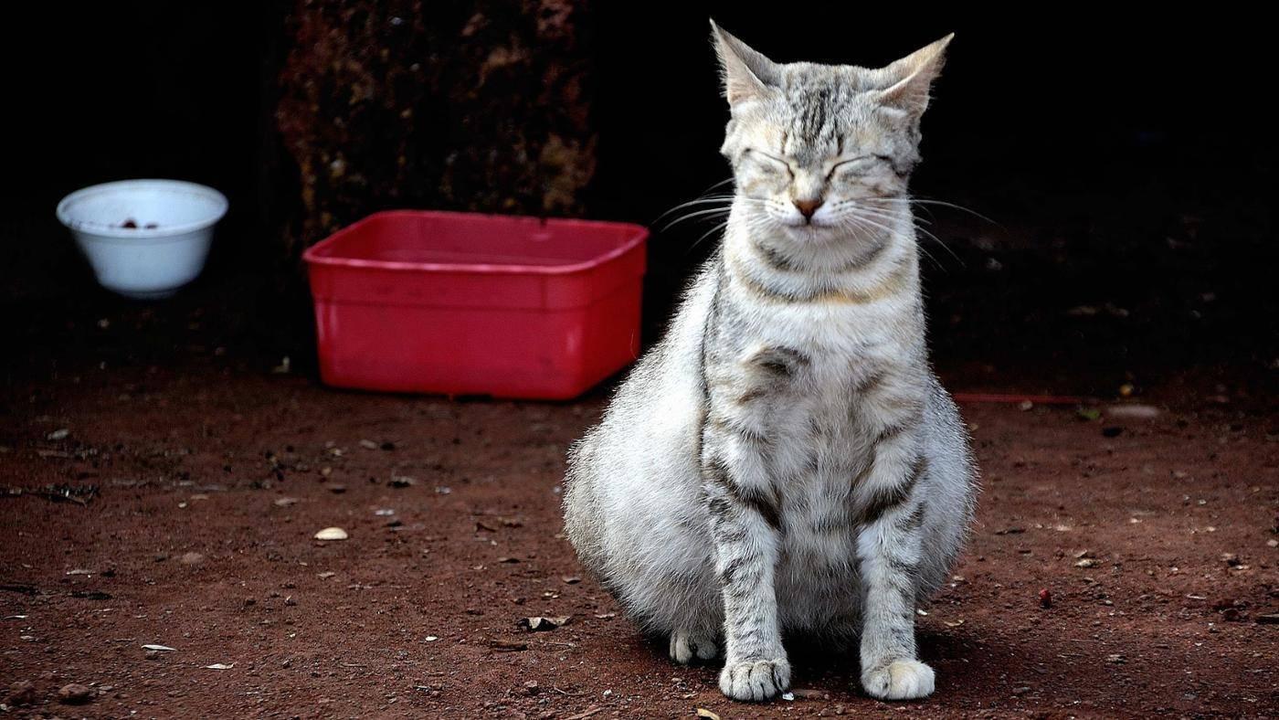 Во время беременности кошка теряет аппетит