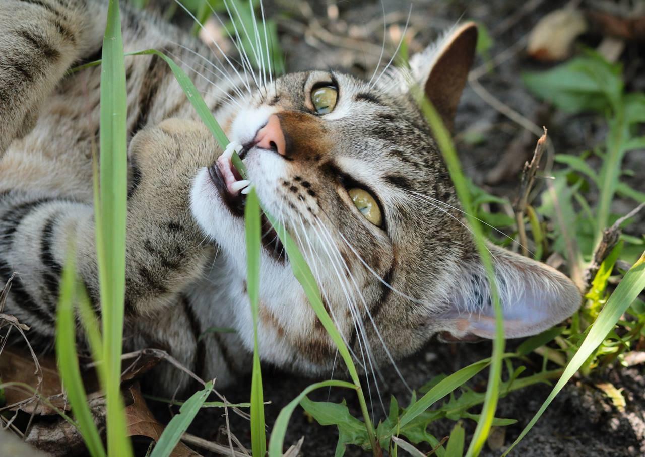 Кот может отравиться ядовитой для него травой