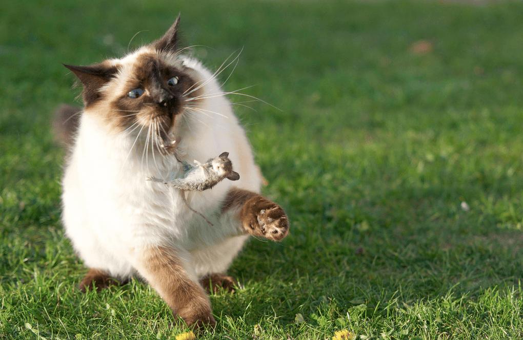 Кот может напасть на мышь, которая была отравлена одним из специальных ядов
