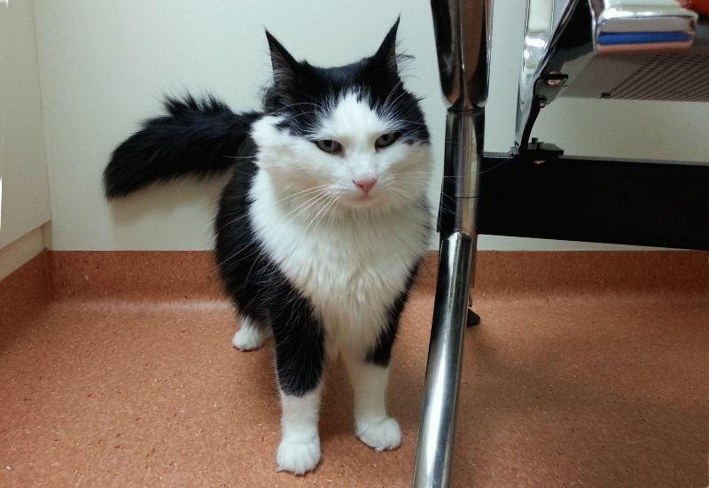 Цистит у кота предполагает недержание мочи