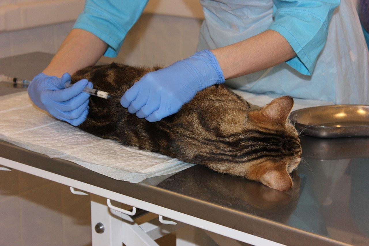 Удаление матки практикуют для того, чтобы кошка не заболела различными болезнями
