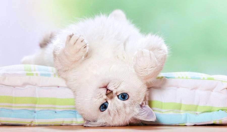 Оптимальным возрастом стерилизации кошки считается 7-8 месяцев