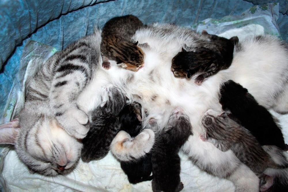 Новорожденных хотят можно попробовать подложить другой кормящей кошке