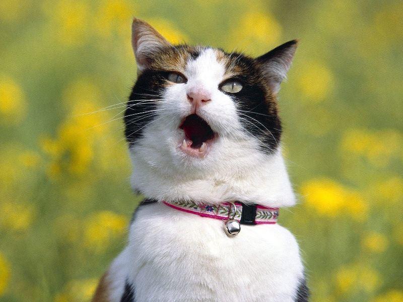 Дышать с открытым ртом кошачьи могут по вполне обычной причине