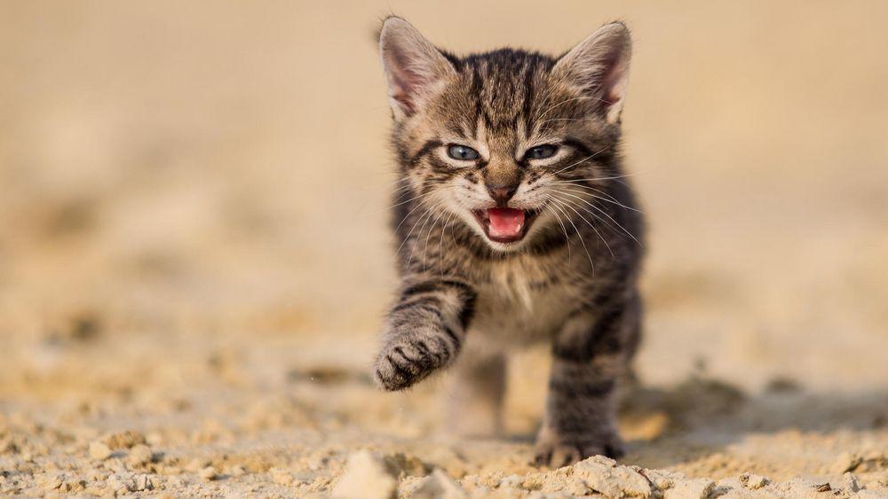 Дыхание кошки с открытым ртом свидетельствует о наличии хронических заболеваний ротовой полости или носоглотки