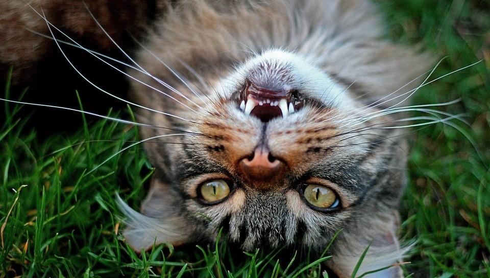 Если кошка начала дышать с открытым ртом, возможно она отравилась