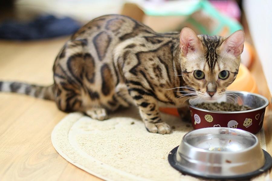 При кормлении кошки сухим кормом ей следует давать больше воды