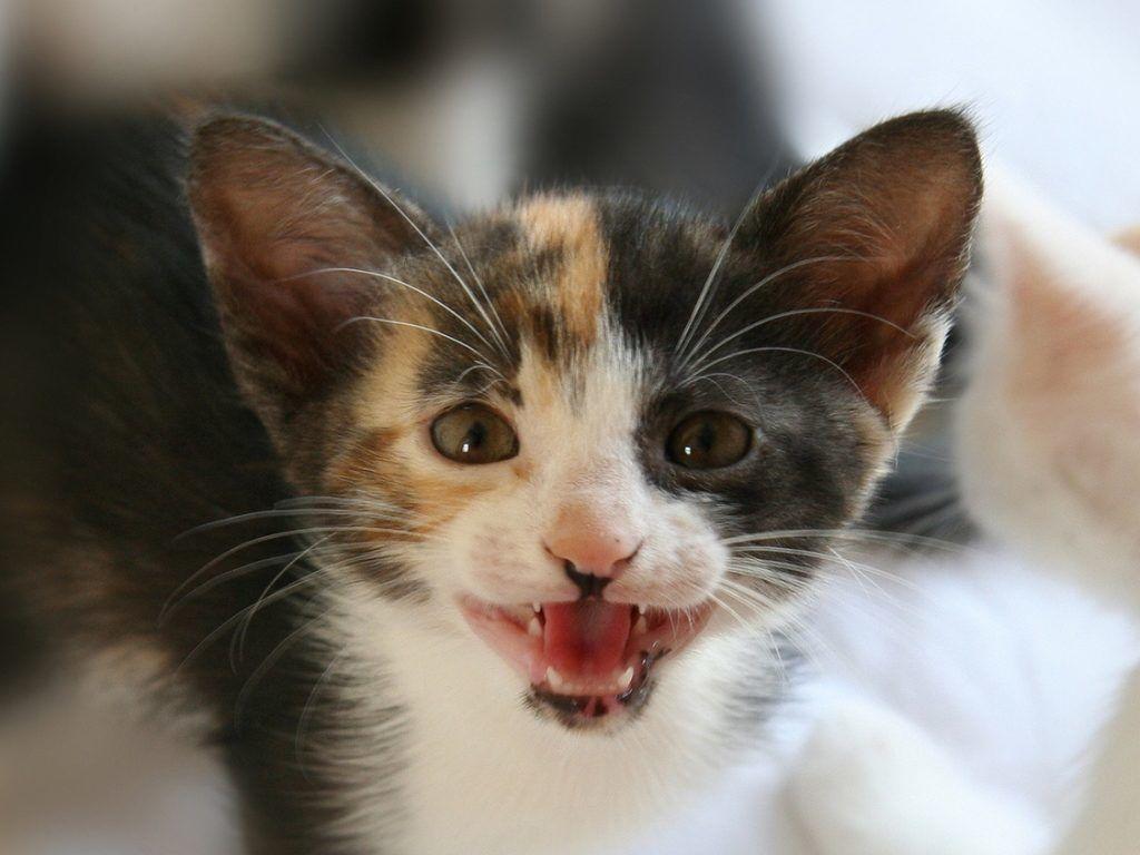 Почему кошка часто мяукает в доме