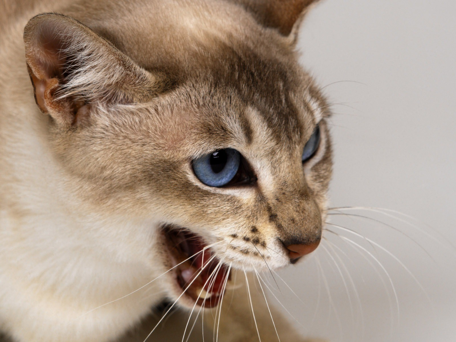Постоянное мяуканье также зависит от породы кошки