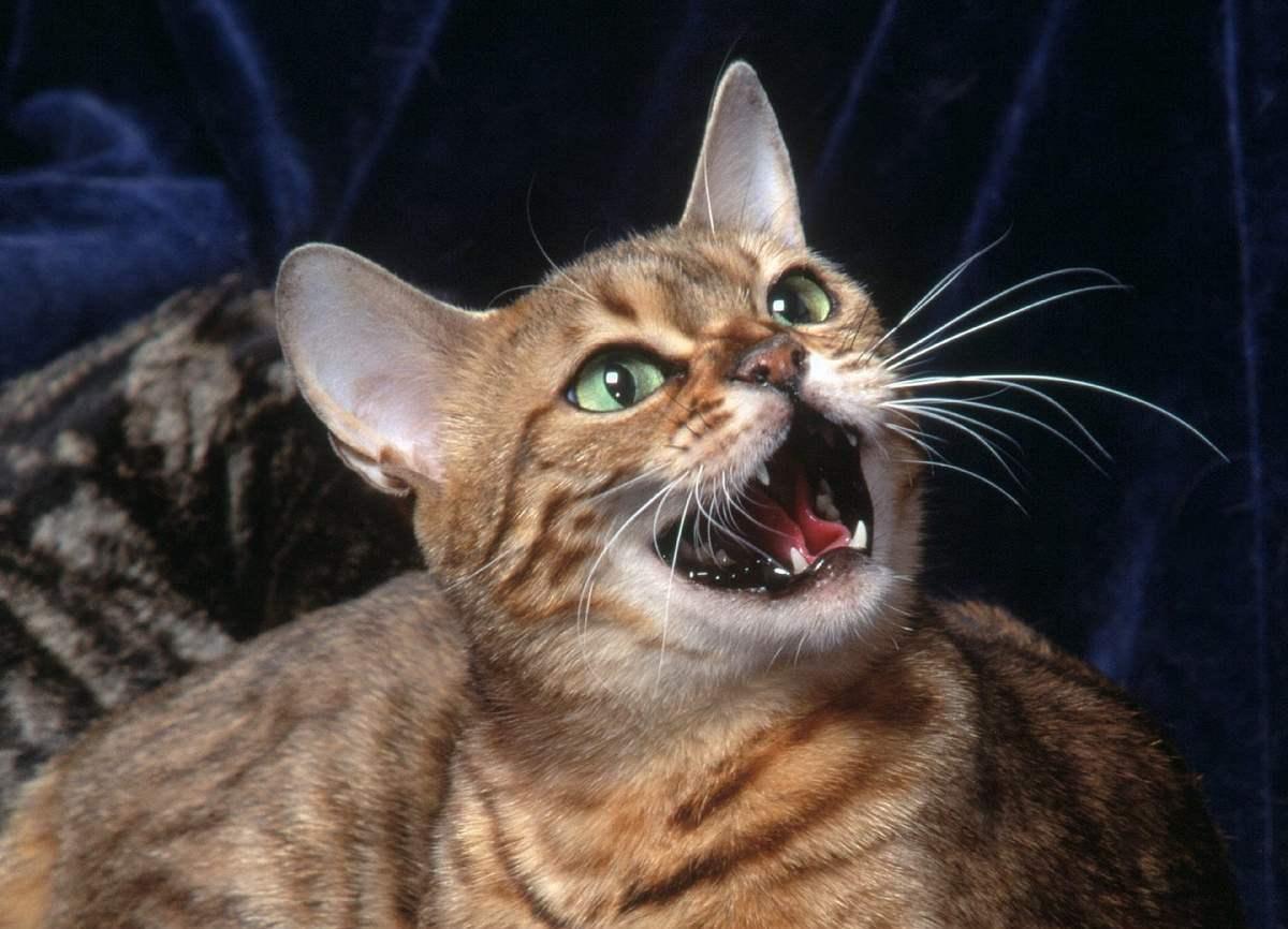 Некоторые коты просто любят поговорить