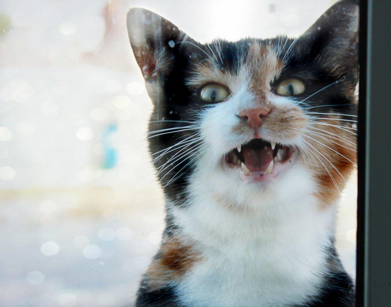 При наличии в организме глистов коты начинают мяукать постоянно
