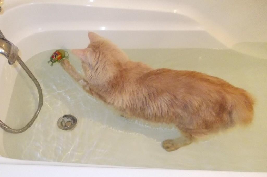 Курильский бобтейл спокойно плавает и ныряет в воде
