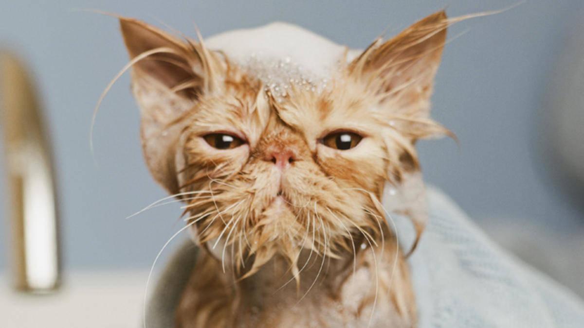 Кошка начинает испытывать стресс еще до начала помывки