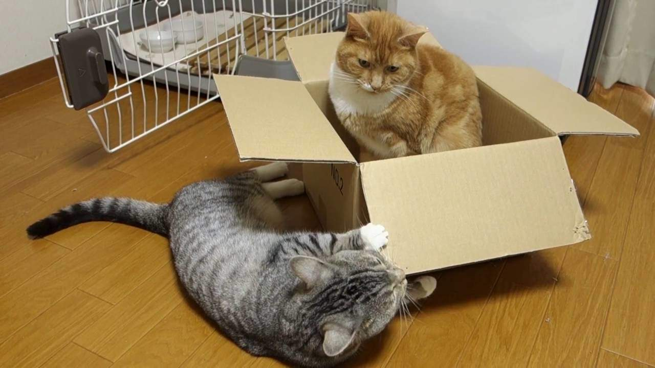 Коробка является веселым развлечением для котов