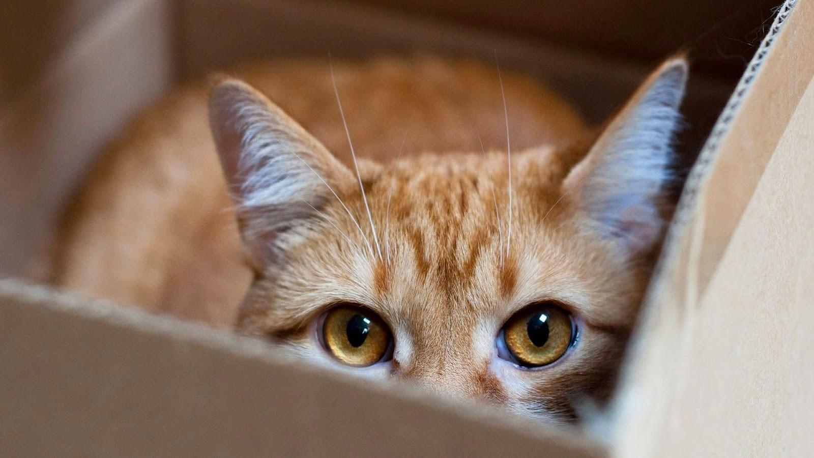 Коробка помогает снизить стресс у котов