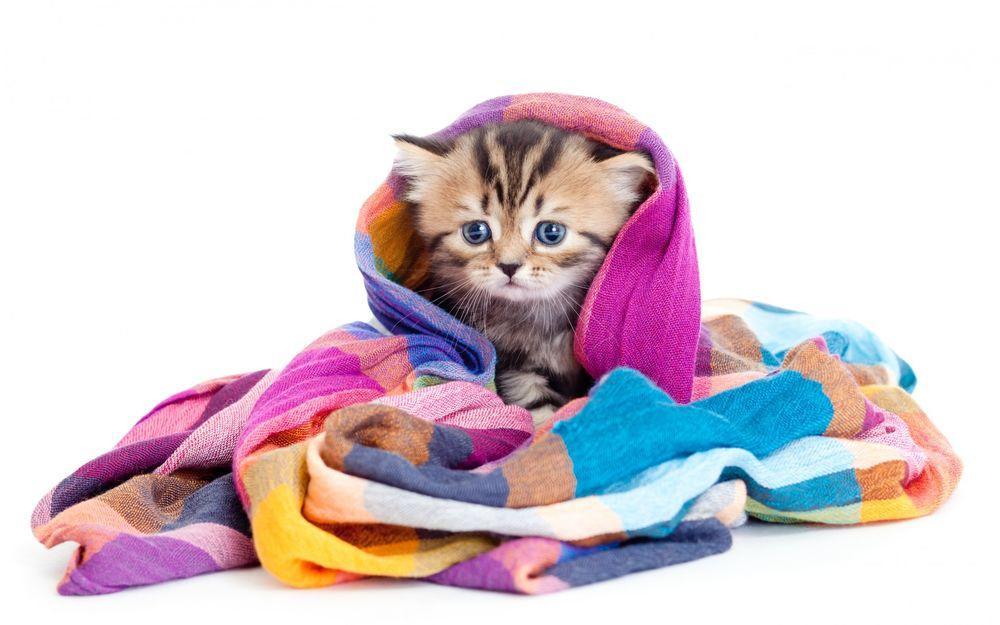 Перед удалением клеща закутайте кошку в одеяло