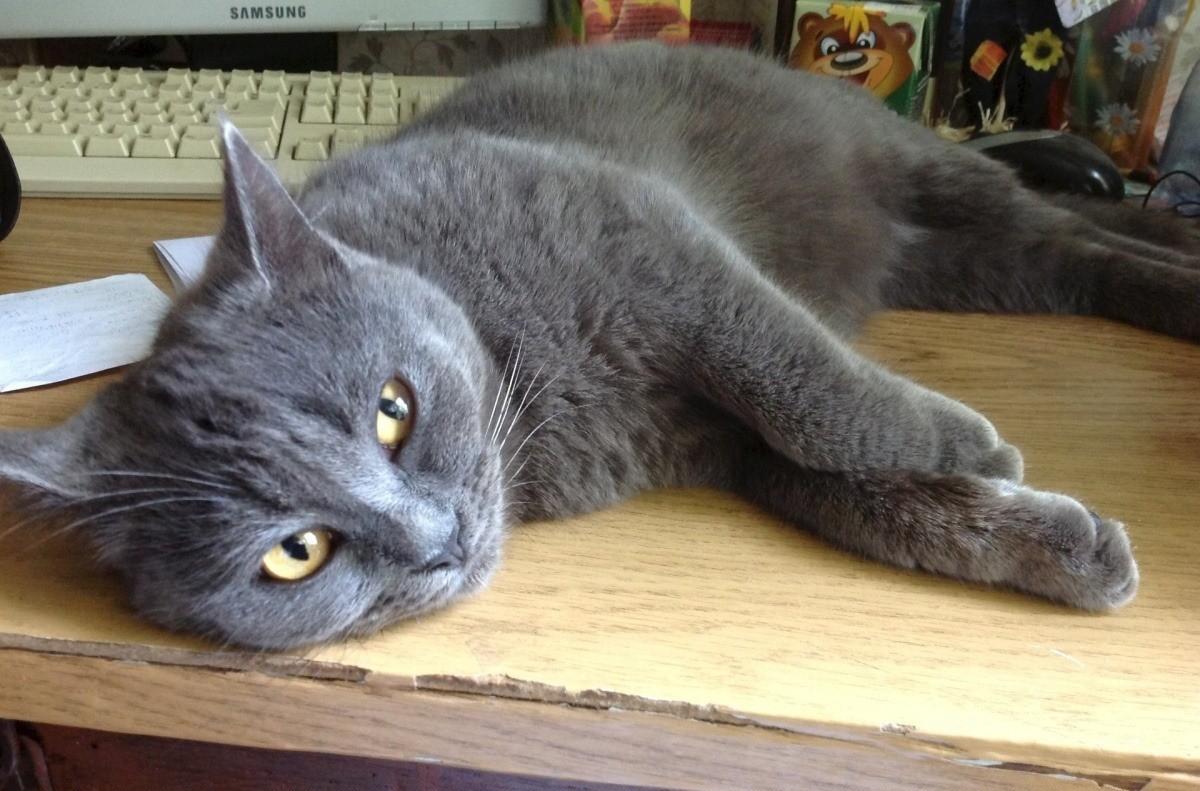Клещи могут заразить кошку пироплазмозом