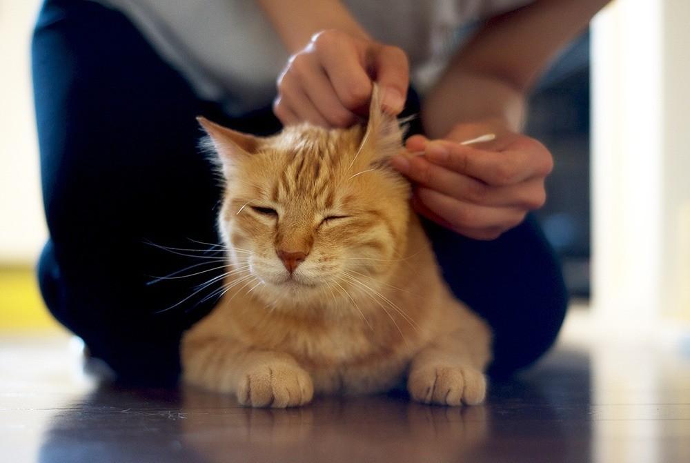 Уши следует регулярно чистить ватными палочками с перекисью водорода