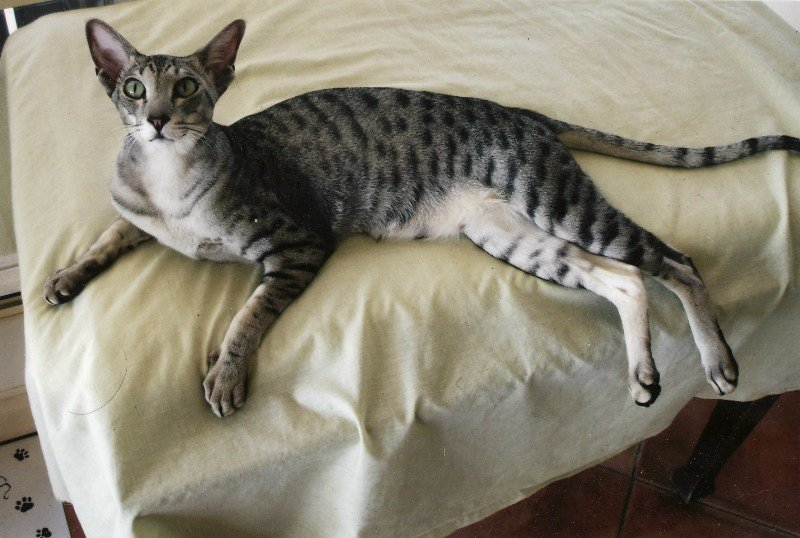 У ориентальных кошек короткая шерсть и очень легкий подшерсток