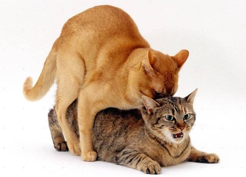 После спаривания кошка обязательно успокаивается