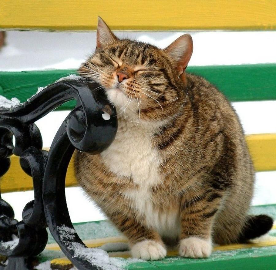 В период течки кошка становится ласковой