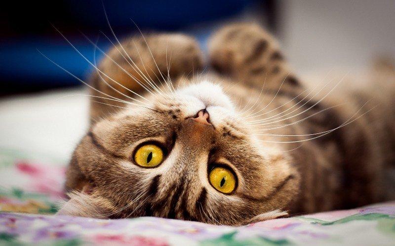 На этапе проэструс кошка не допускает к себе ни одного кота