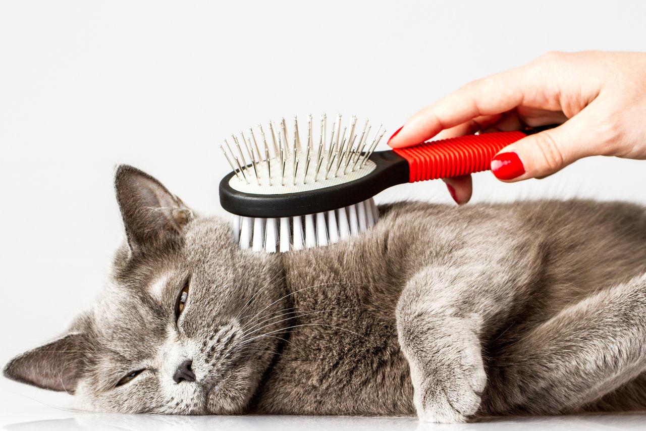 Во время линьки кота необходимо вычесывать