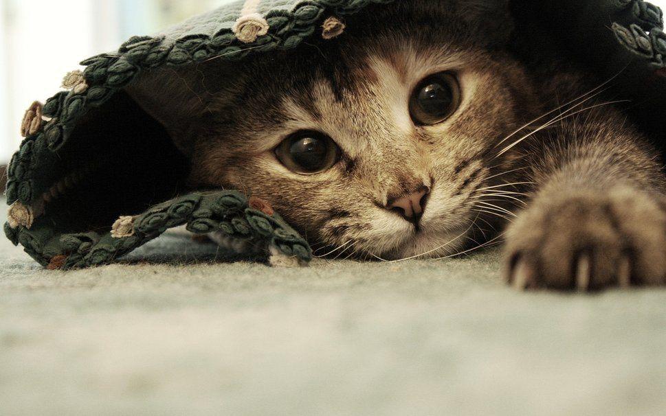 При появлении паразитов у кошки начинает выпадать шерсть