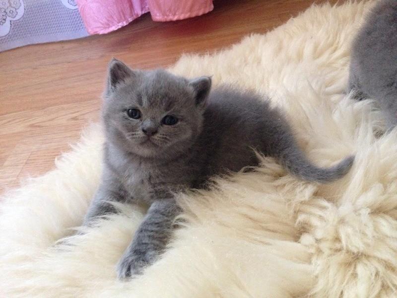 Когда котенку исполнится год, ему делают прививку от бешенства