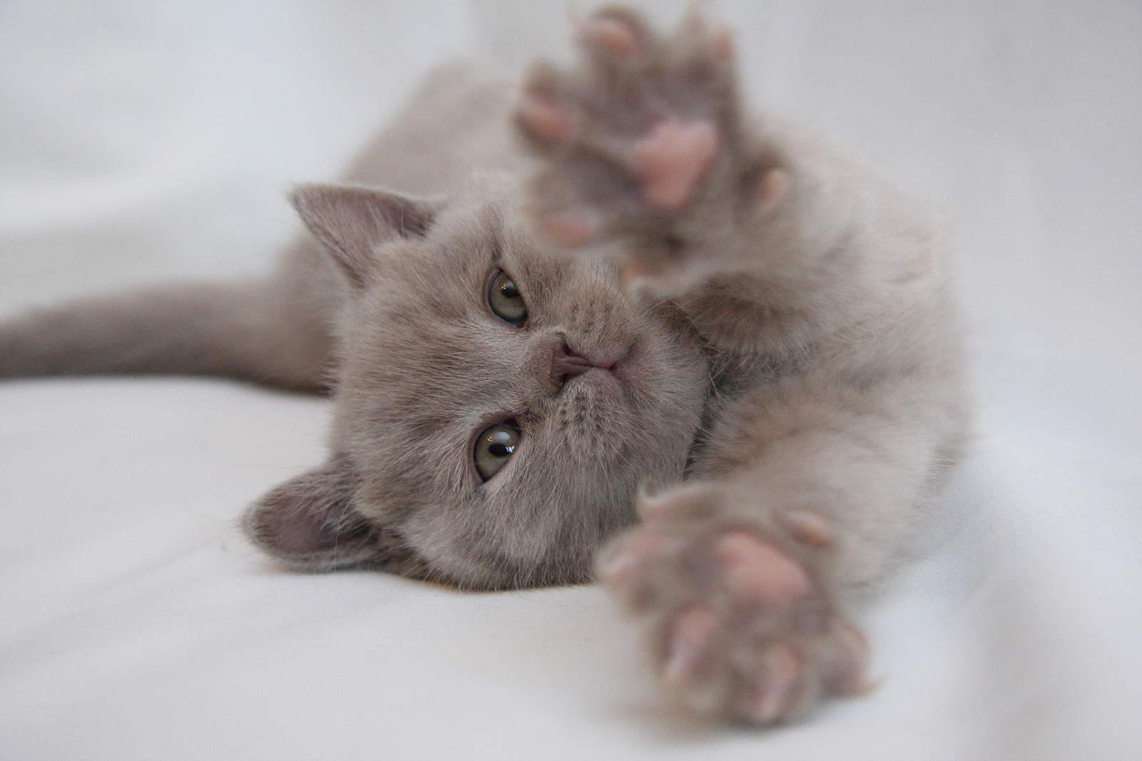 Каждые две недели котенку следует подстригать когти