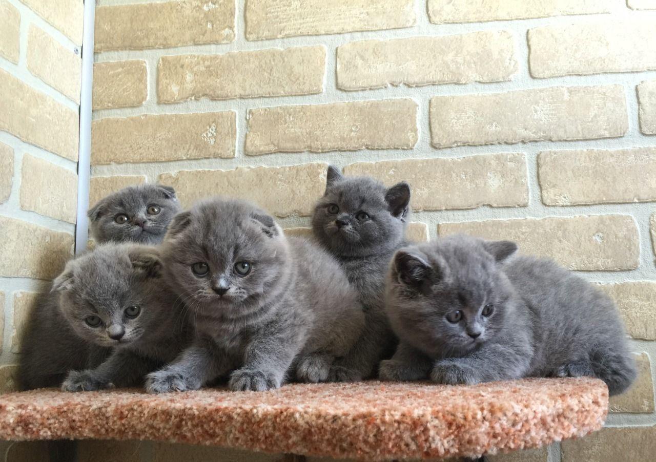 Уход и воспитание британских котят несложен