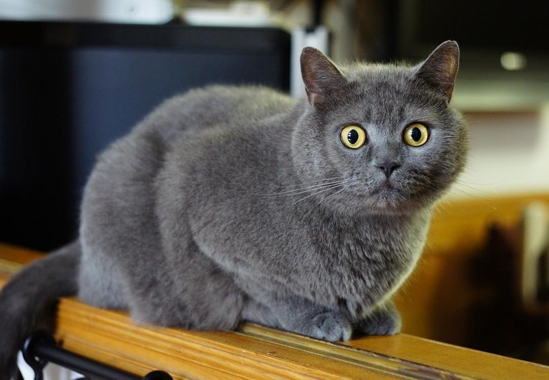 Британские коты обладают плотной плюшевой шерстью