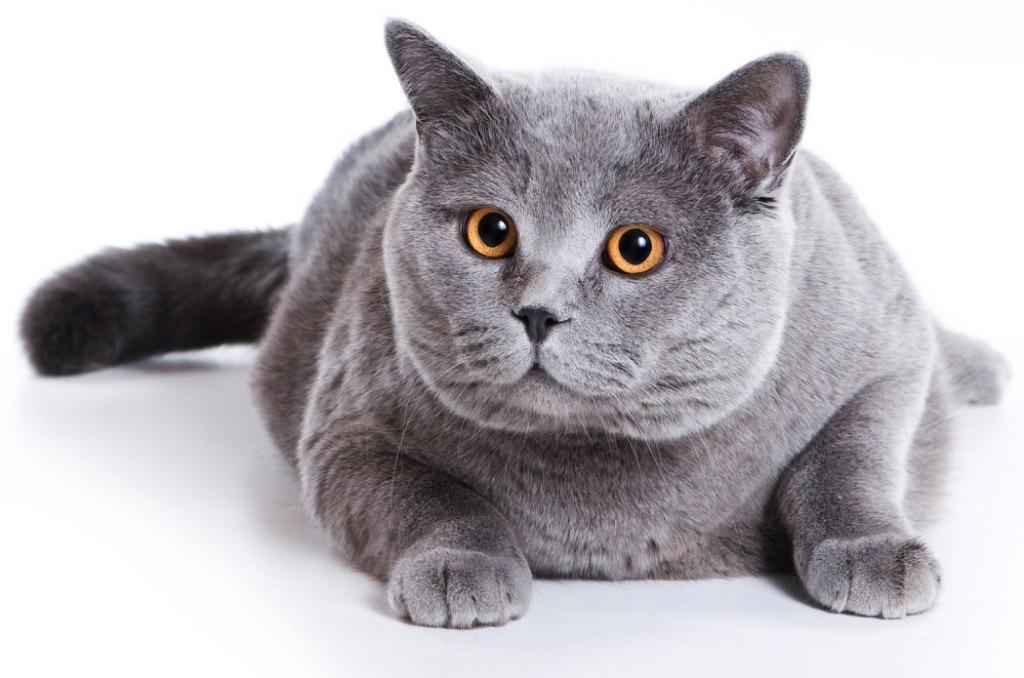 У британских кошек круглые янтарные глаза