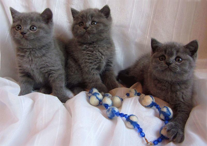 Кормить британских котят следует 4 раза в день натуральным кормом