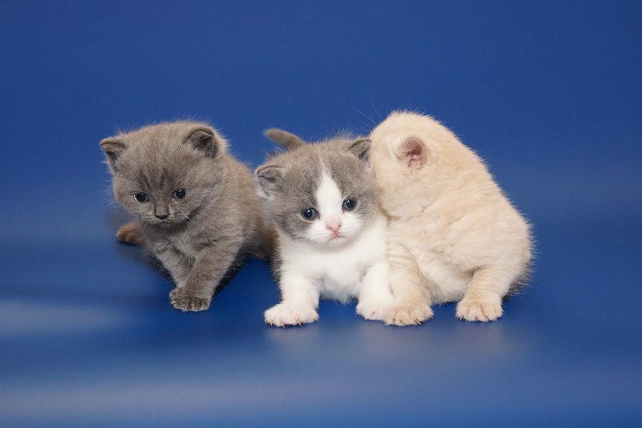 Британских котят желательно отдавать в трехмесячном возрасте