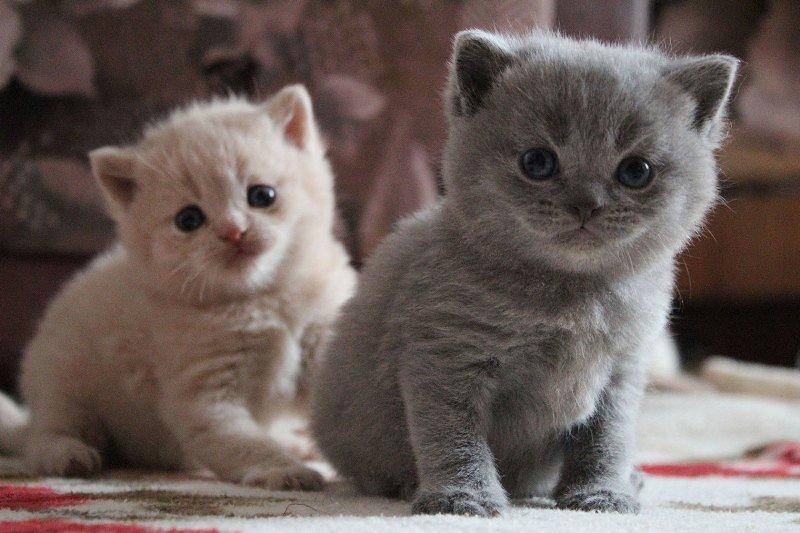 За британскими котятами требуется тщательный уход
