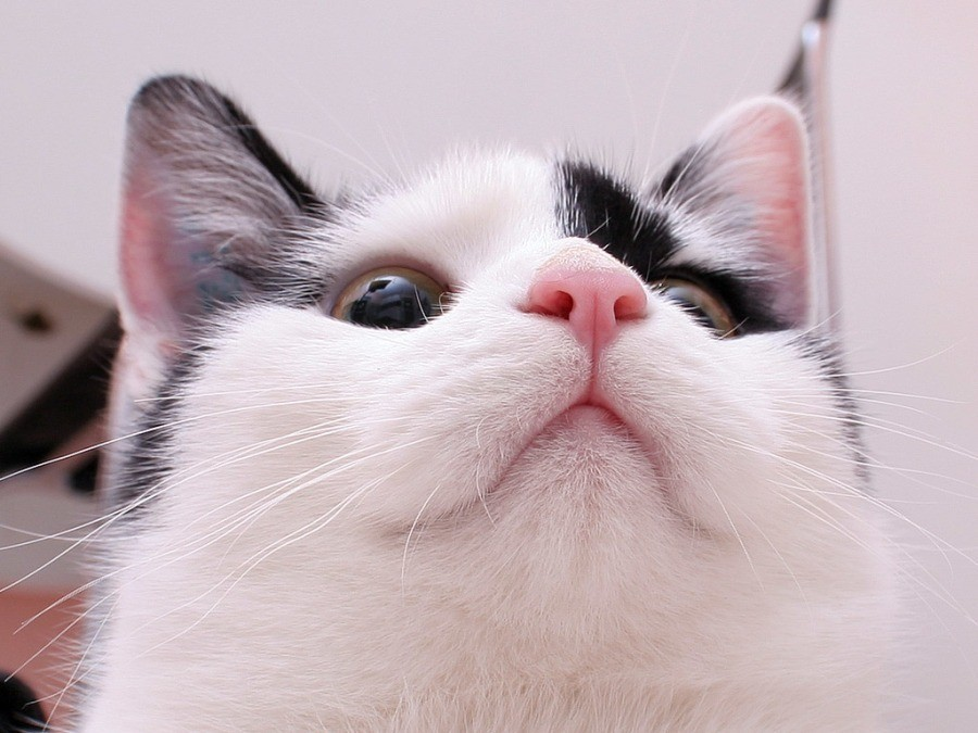 Горячие уши у кошки