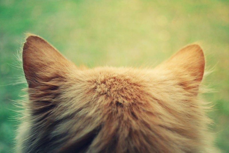 Повышенная температура у кошек