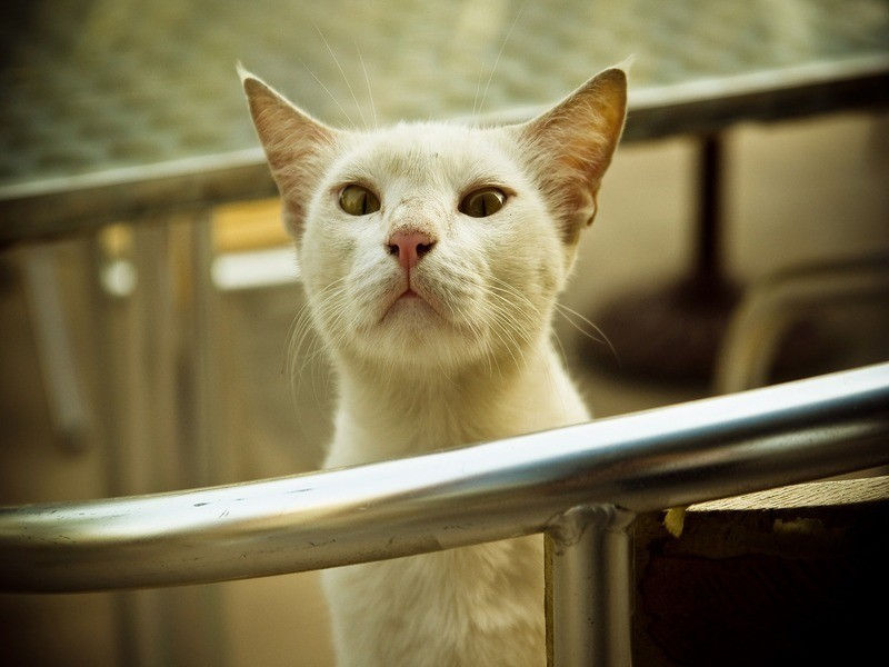 Горячие уши могут свидетельствовать о том, что кошка заболела