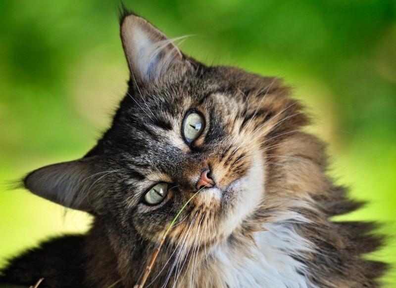 Нос и уши трогают на предмет выяснения температуры кошек