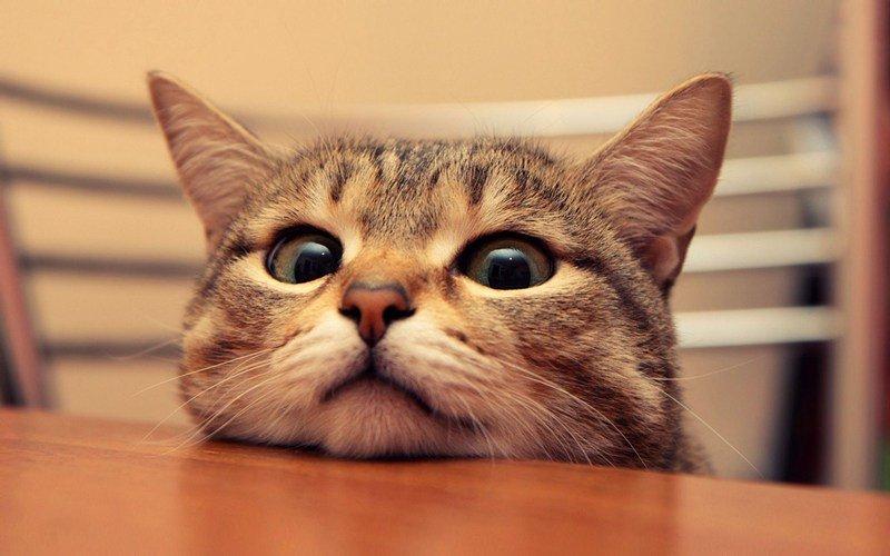 Если кот находится в душном помещении, у него становятся горячими уши