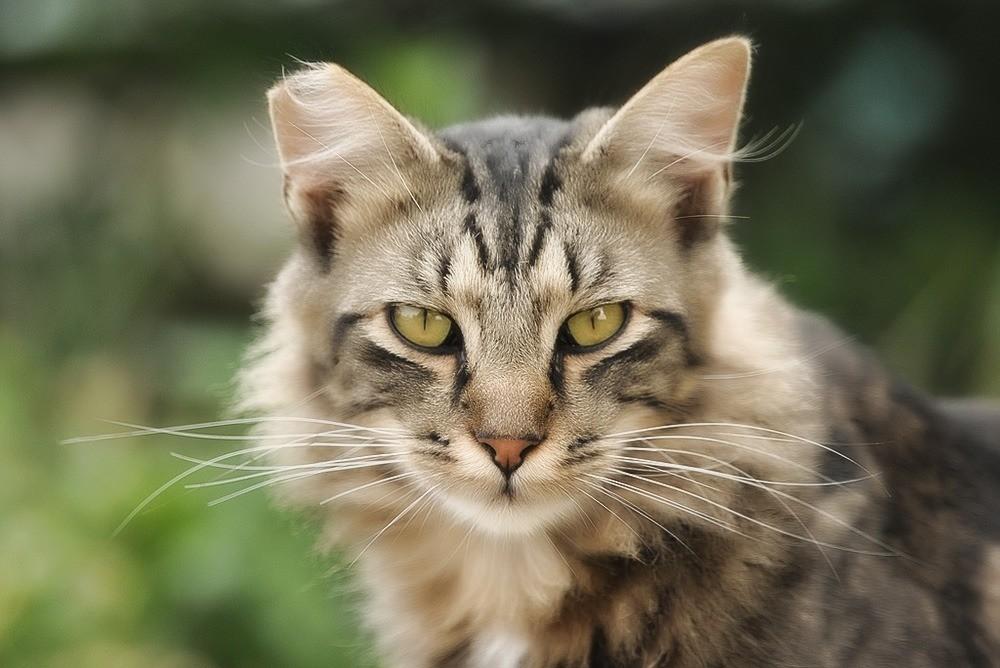 Кошачий хламидиоз