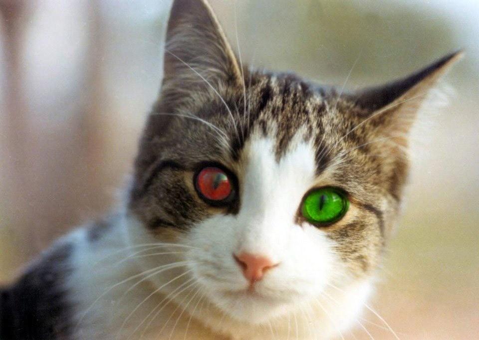 При хламидиозе у кошек поражаются глаза