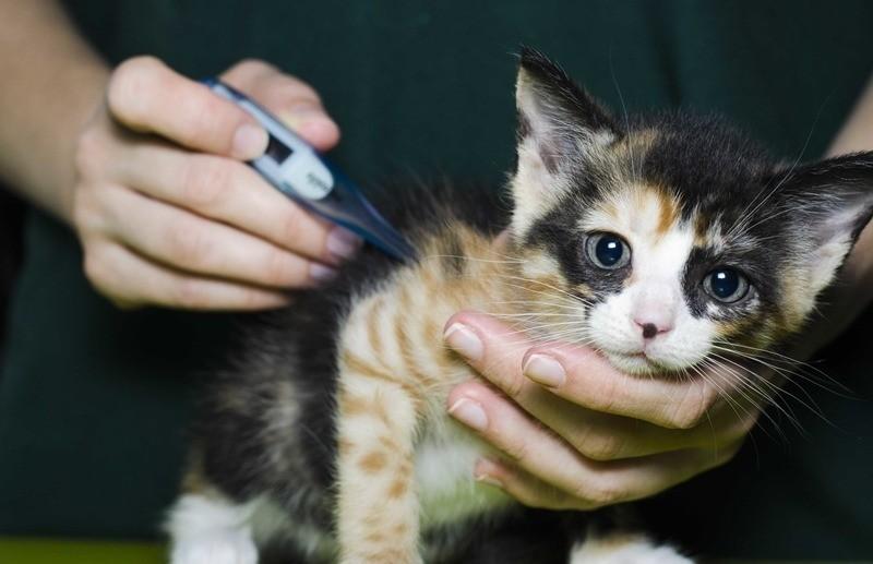 При хламидиозе у кошек повышается температура
