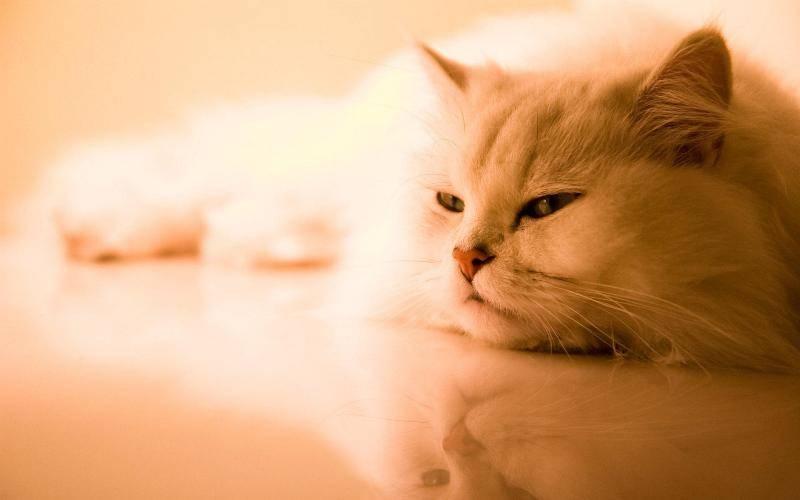 У кошек наблюдается слабость конечностей при хламидиозе