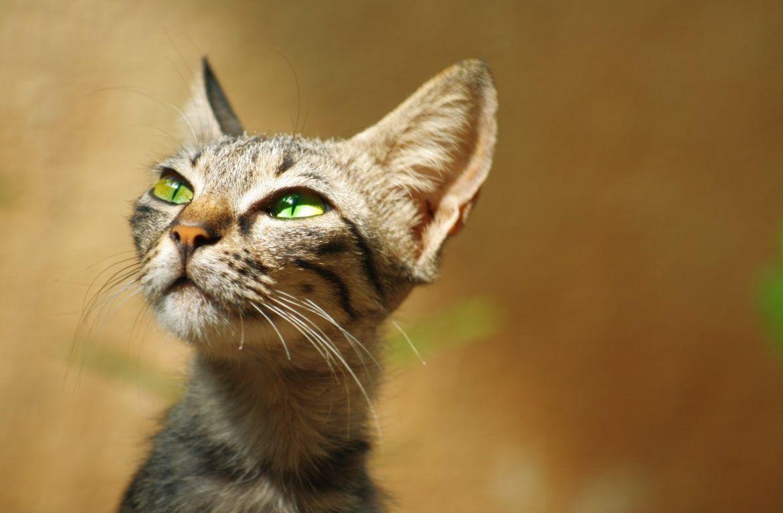 Туберкулезу подвержены больше кошки, живущие при клиниках или диспансерах