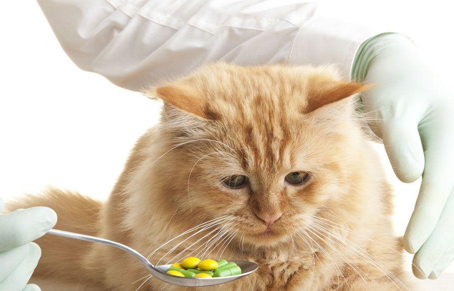 При осуществлении перевода питания кошачьих на новый тип корма следует давать животному пробиотики