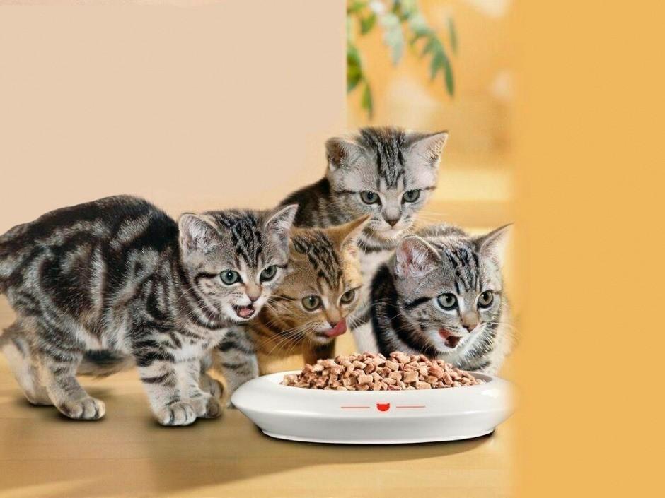 Приучение котят к сухому корму