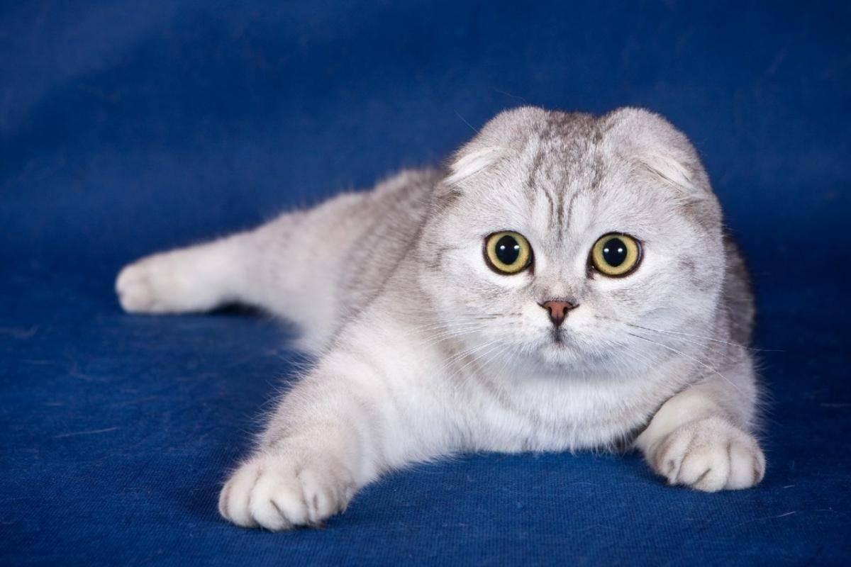 Сильной линьке подвержены те коты, у которых не просто длинная шерсть, но и густой подшерсток