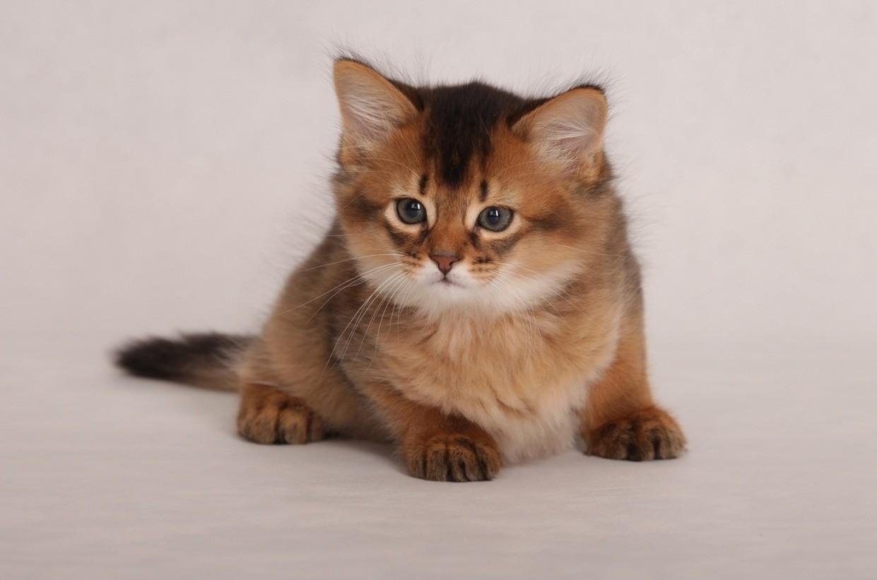 Котенок любой породы первый раз линяет в 5-7 месяцев